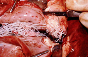 srcani crv