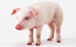 Pig-14